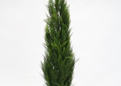 conifer-topiary