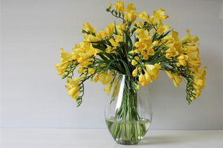 yellowfresias